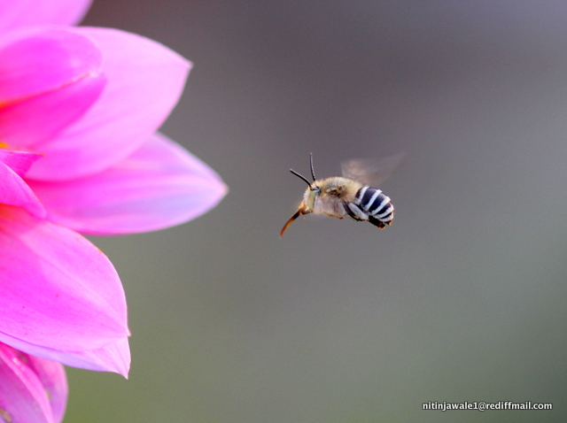 FORAGING BEE ' HOVERING' AROUND