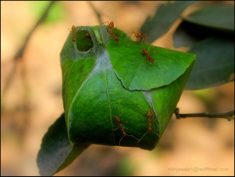 LEAF NEST OF THE TREE ANTS