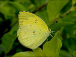 Title: LARGE GRASS YELLOW