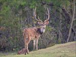 Title: CHITAL (SPOTTED DEER)