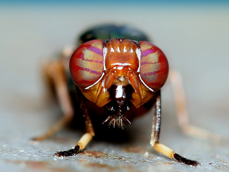 STRIPPED COMPOUND EYES OF STOMORHNA FLY