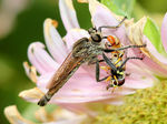 Title: ROBBER FLY PREYING ON HOVERFLY