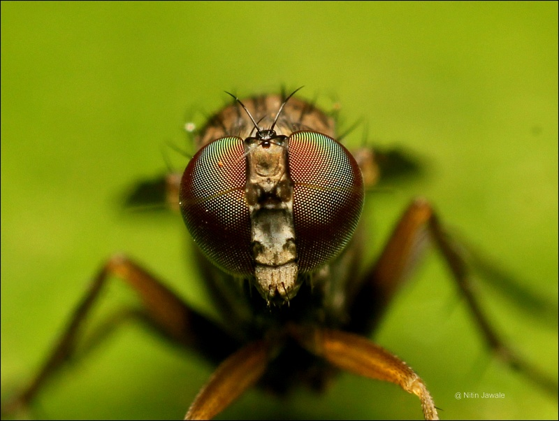 COMPOUND EYES