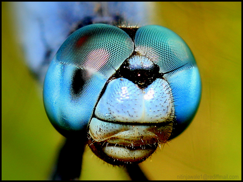 THE DRAGONFLY PORTRAIT