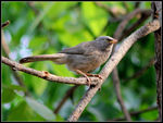 Title: JUNGLE BABBLER