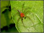 Title: LYNX ' THE BOXER' SPIDER