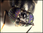 Title: COMPOUND EYES OF A SOLDIER FLY
