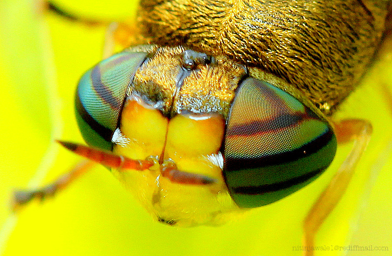 STRIPPED COMPOUND EYES