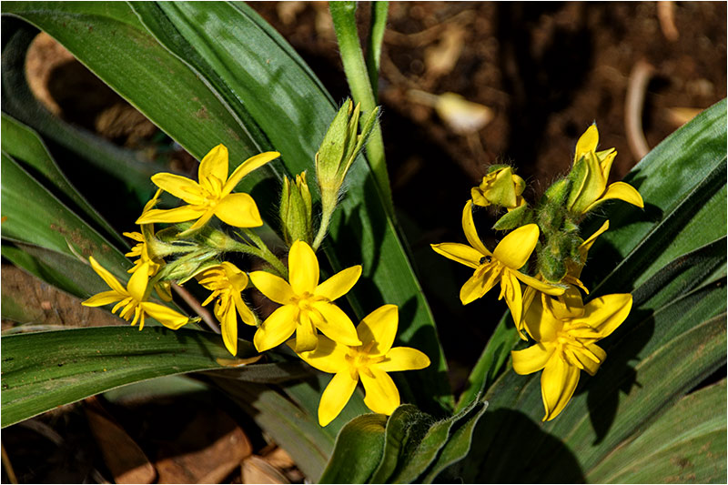 Hypoxis rigidula