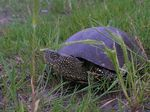 Title: Turtle in Sf Gheorghe