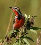 Title: Rosy-breasted Longclaw