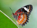 Title: Malay Lacewing