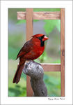 Title: Northern Cardinal