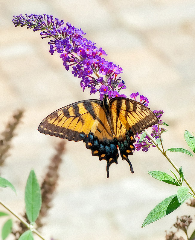 Eastern Tiger Swallow Tail