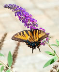 Title: Eastern Tiger Swallow Tail