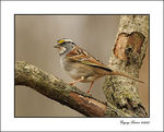 Title: White Throated Sparrow
