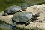 Title: AfricanHelmeted turtles