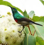 Title: Southern Doule-collared Sunbird