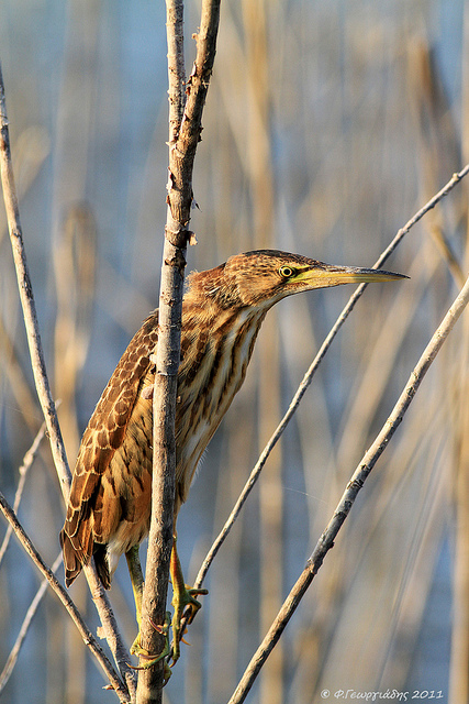(Juvenile) Little Bittern