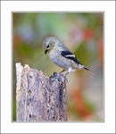 Title: Fall Finch