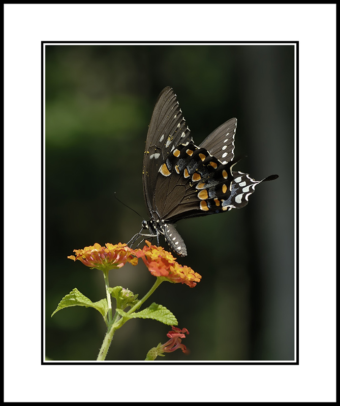 Swallow tail