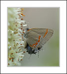 Title: Red-banded Hairstreak