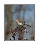 Title: Northern Mockingbird