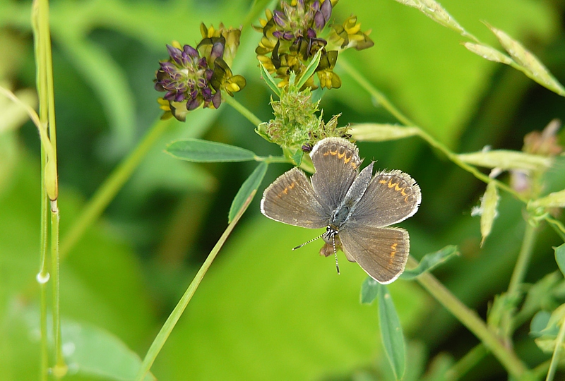 Female of Common blue