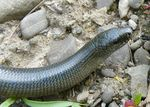 Title: Slow worm