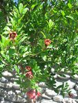 Title: Pomegranate tree