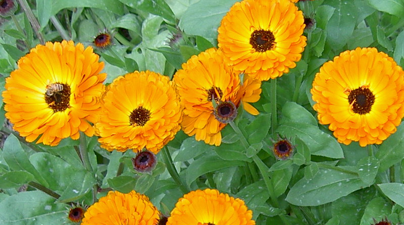 Marigolds with bee