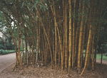 Title: Bamboo