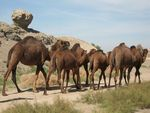 Title: Camel Crossing