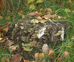 Title: Polypores on a stub