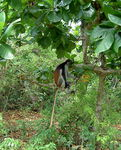 Title: Red Colobus Monkey