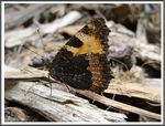 Title: The Small Tortoiseshell -Aglais urticae