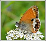 Title: The Pearly Heath (Coenonympha arcania)