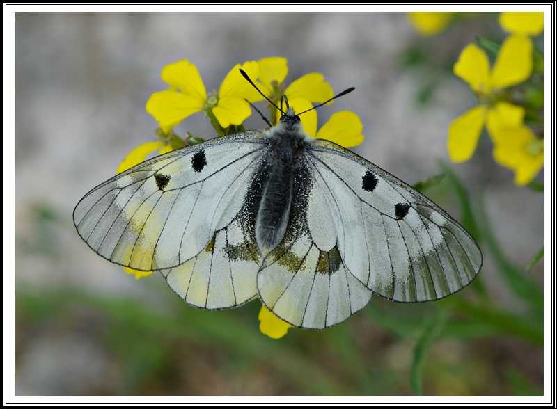 The Clouded Apollo (Parnassius mnemosyne