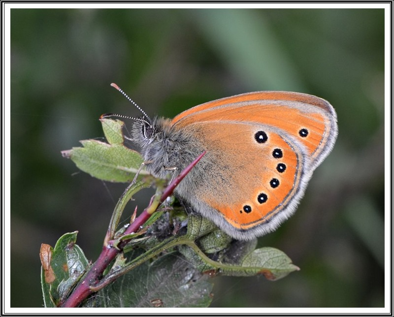 Russian Heath (Coenonympha leander)