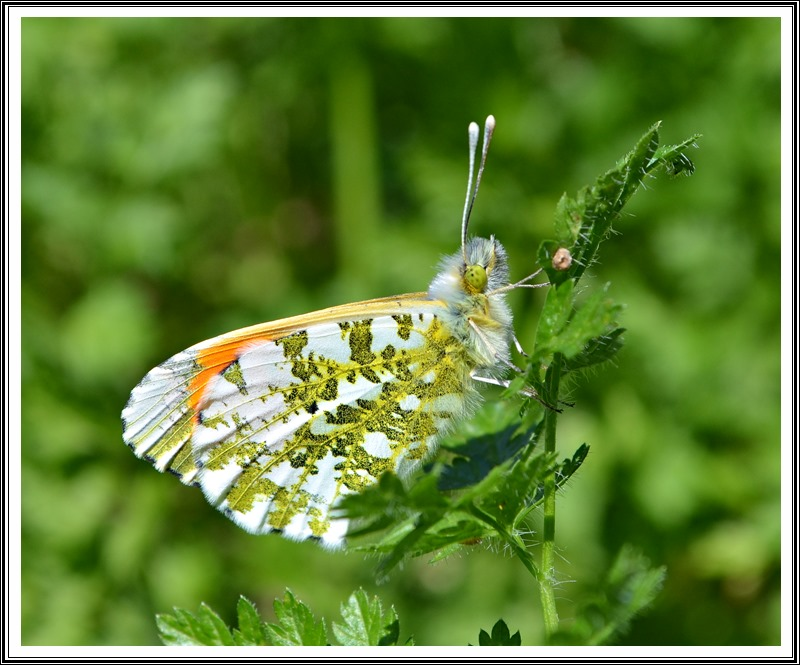 The Orange Tip (Anthocharis cardamines)