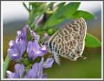 Title: Lang's Short Tailed Blue