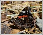 Title: The Red Admiral (Vanessa atalanta)