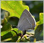 Title: The Purple Hairstreak(Favonius quercus)