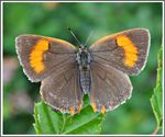 Title: The Brown Hairstreak (Thecla betulae)