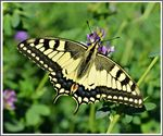 Title: Papilio machaon
