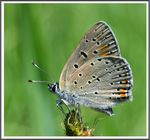 Title: Purple-edged Copper (Lycaena hippothoe)