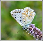 Title: The Chalkhill Blue (Polyommatus coridon)