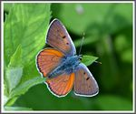 Title: The Purple-Shot Copper-Lycaena alciphron