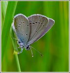 Title: The Small Blue (Cupido minimus)