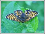 Title: The Heath Fritillary (Melitaea athalia)